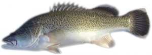 Murray cod for aquaponics