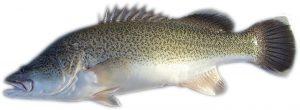 Murray cod for aquaponics