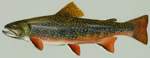 brook trout for aquaponics