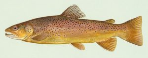 brown trout for aquaponics