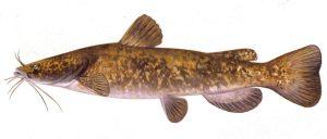 catfish for aquaponics