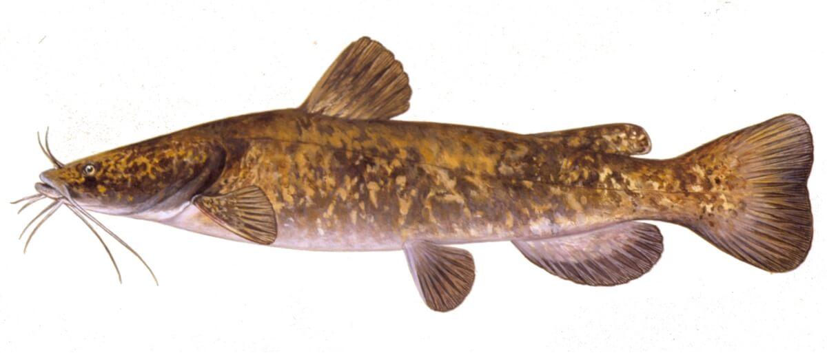 Using a catfish aquaponics system any good how to for Catfish aquaponics