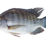 The Pros And Cons Of Having Tilapia In Your Aquaponics System