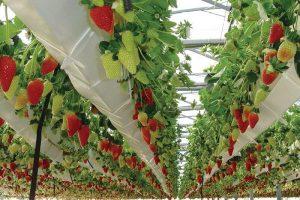 aquaponics strawberry