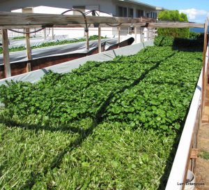 how to grow watercress in aquaponics