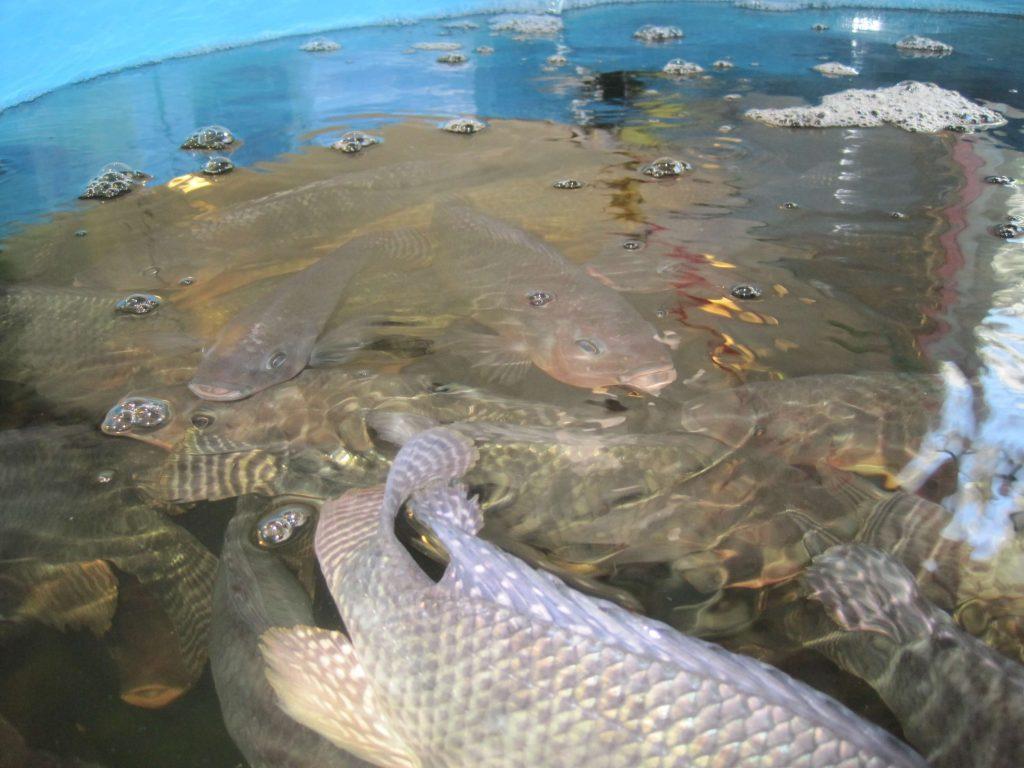 tilapia fish in aquaponics