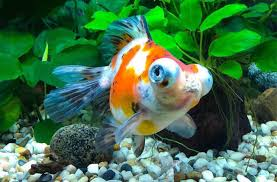 Telescope Eye goldfish