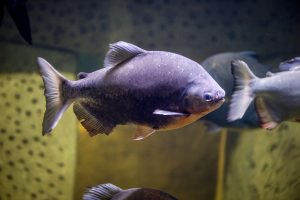 pacu for aquaponics