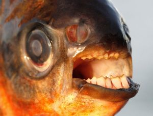 pacu teeth