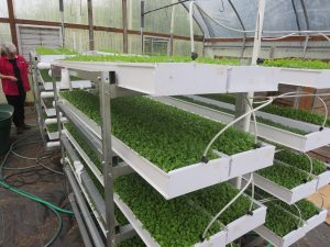 aquaponics microgreens farm