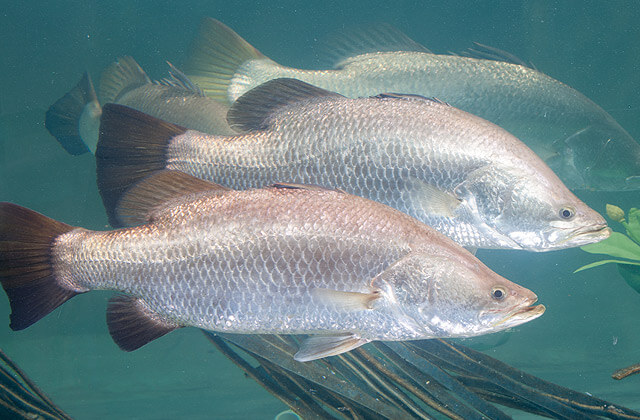 barramundi for aquaponics