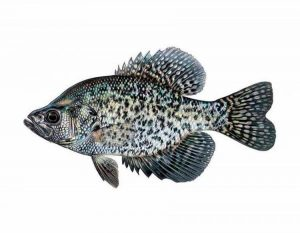 black crappie for aquaponics