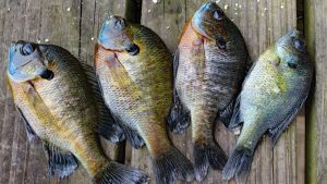 bluegill for aquaponics
