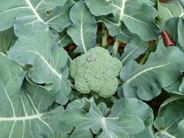 broccolihead in grow bed