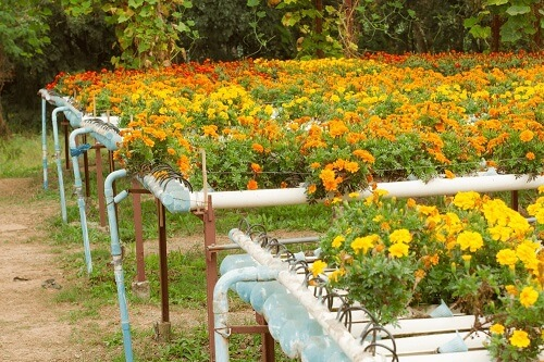 marigolds in nft aquaponics