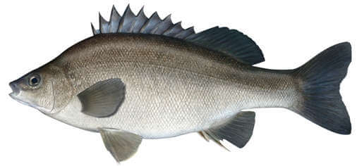 silver perch for aquaponics
