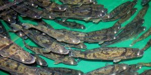 walleye in aquaculture systems