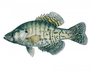 white crappie for aquaponics
