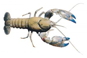 yabbies for aquaponics