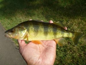yellow perch aquaponics