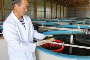 yellow perch in aquaculture systems