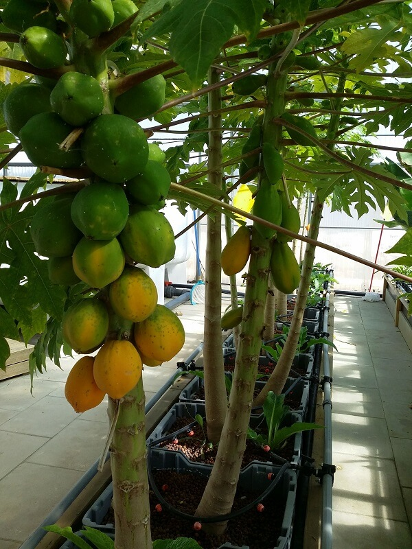 papaya tree in aquaponics growbeds with growmedia
