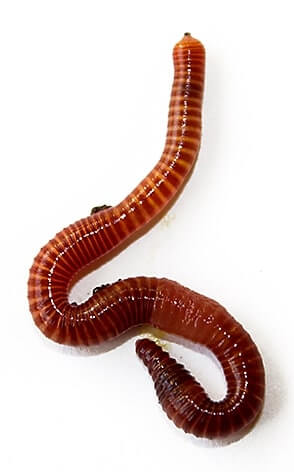 redworm for aquaponics