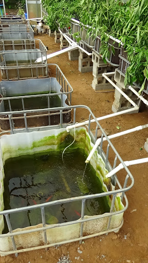 Example of algae growth in sump tanks