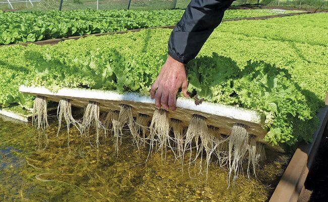 Lettuce in Deep Water Culture (DWC)